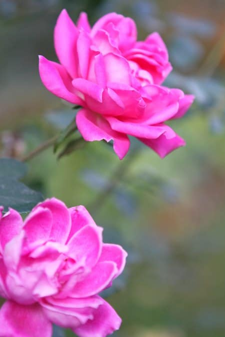 Two Bright Pink Flowers in the Better Homes and Gardens Garden Space