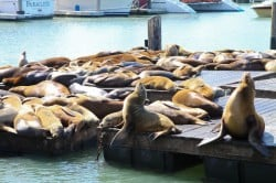 Sea Lions Pier 39 in San Francisco