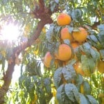 Del Monte Farm and Cannery Tour
