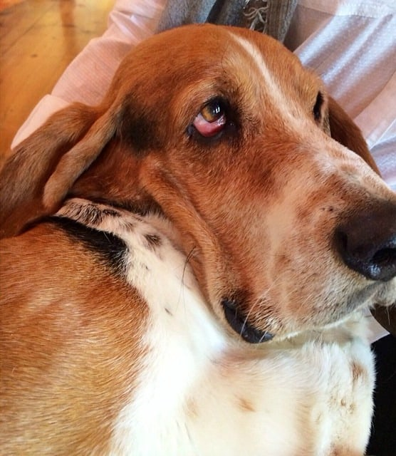 The Pioneer Woman's Charlie The Basset Hound